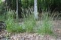 Calamagrostis arundinacea kz06.jpg