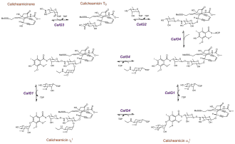 Calicheamicin - Schematic of calicheamicin glycosylation pathway
