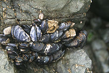 California Mussels 002.jpg
