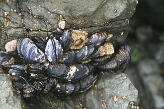 Keystone species - Aggregation of California mussels (Mytilus californianus) - prey species.