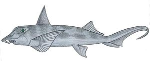 Chondrichthyes - Image: Callorhinchus callorhynchus
