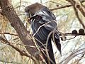 Calyptorhynchus lathami -Mount Ainslie, Canberra, Australia -male-8.jpg