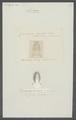 Campecopea hirsuta - - Print - Iconographia Zoologica - Special Collections University of Amsterdam - UBAINV0274 098 10 0007.tif