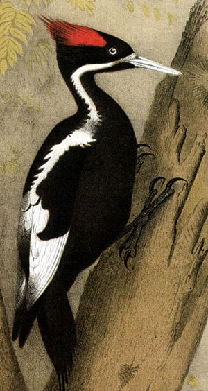 Jacob H. Studer - Ivory-billed Woodpecker by Theodore Jasper, from Studer's Popular Ornithology