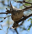 Campylorhynchus brunneicapillus, Arizona P1030976.jpg