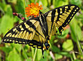 Canadian Tiger Swallowtail (Papilio canadensis) (9256931415).jpg