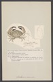 Cancer exaratus - - Print - Iconographia Zoologica - Special Collections University of Amsterdam - UBAINV0274 006 01 0034.tif
