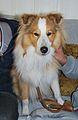 Candy-Shetland Sheepdog.JPG