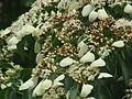 Canelo Calycophyllum candidissimum (Vahl.) DC..JPG