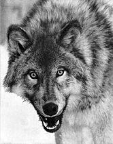 Canis lupus portrait.jpg