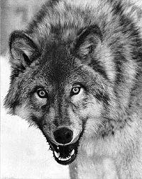 Canis lupus portrait