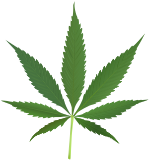 A Cannabis sativa leaf.