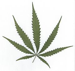 240px-Cannabis_sativa_leaf.jpg