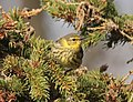 Cape May Warbler, Tawas Point State Park, 16 May 2014 (14031084139).jpg