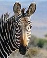Cape Mountain Zebra (Equus zebra zebra) (32510283536).jpg