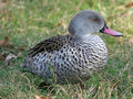 Cape Teal (Anas capensis) RWD3.jpg
