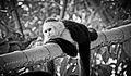 Capuchin monkey (13434730224).jpg