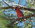 Cardinal-singing.jpg