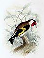 Carduelis carduelis 1869.jpg