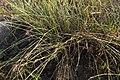 Carex extensa (9).jpg