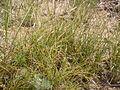 Carex filifolia (3796734043).jpg