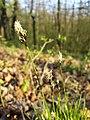 Carex montana sl4.jpg