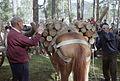 Carga de un caballo con leña a la antigua usanza.jpg
