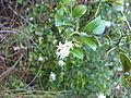 Carissa bispinosa Uniondale 1167.jpg