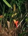 Carludovica palmata 4.jpg