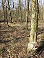 Carpinus betulus sl13.jpg