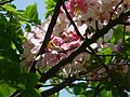 Cassia javanica (2478950090).jpg