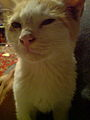 Cat - pet - white & gray 4.JPG