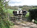 Cattle, at Bowood Farm - geograph.org.uk - 1272295.jpg