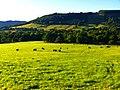 Cattle - panoramio (10).jpg