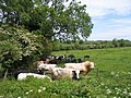 Cattle trying to find some shade - geograph.org.uk - 180645.jpg