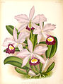 Cattleya × brymeriana - Lindenia - plate 343.jpg