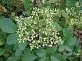 Cayratia japonica2.jpg