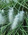 Cenchrus longisetus (Poaceae).jpg