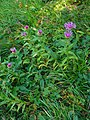Centaurea pseudophrygia 01.JPG
