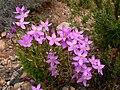 Centaurium quadrifolium.jpg