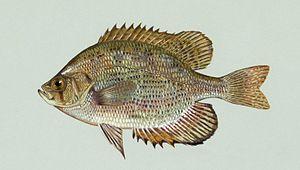 Centrarchidae - Flier (Centrarchus macropterus)