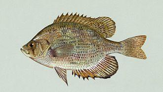 Flier (fish) - Image: Centrarchus macropterus (1)