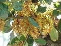 Ceratonia siliqua Flores 26-10-2010 ArboretoParqueElPilarCiudadReal.jpg
