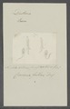 Cercaria fallax - - Print - Iconographia Zoologica - Special Collections University of Amsterdam - UBAINV0274 105 13 0007.tif