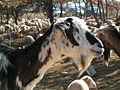 Chèvre commune provençale.JPG