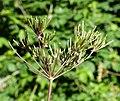 Chaerophyllum temulum fruit (02).jpg