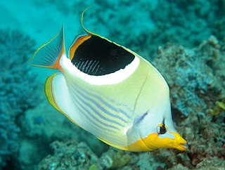 Saddle butterflyfish species of fish