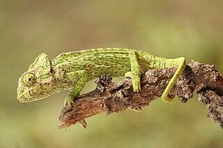 Chamaeleontiformes Clade of lizards