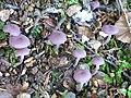 Champignons près du lac Pavin.jpg
