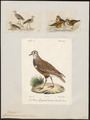 Charadrius morinellus - 1700-1880 - Print - Iconographia Zoologica - Special Collections University of Amsterdam - UBA01 IZ17200201.tif